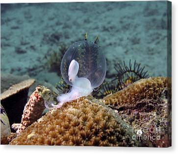 Birth Of Marine Cuttlefish Canvas Print by Sergey Lukashin