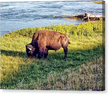 Canvas Print featuring the photograph Bison 4 by Dawn Eshelman