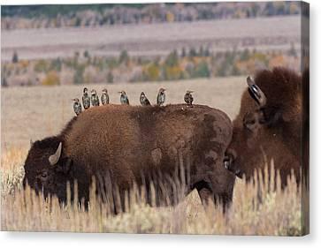 Starlings Canvas Print - Bison And Buddies by Kathleen Bishop
