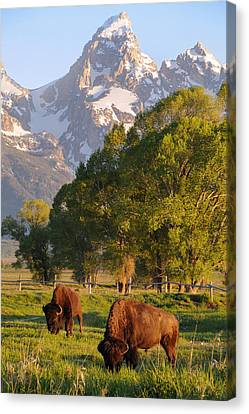 Bison And Grand Teton Canvas Print by Aaron Spong