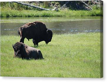 Bison And Spring Grass 1 Canvas Print by Lucy Bounds