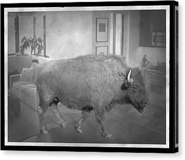 Bison At Home Canvas Print by Flo Karp