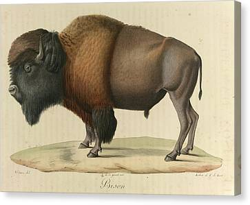 Bison Canvas Print by British Library