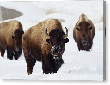 Bison Bulls, Winter Canvas Print by Ken Archer