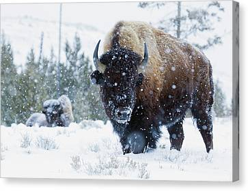 Bison Bulls, Winter Landscape Canvas Print by Ken Archer