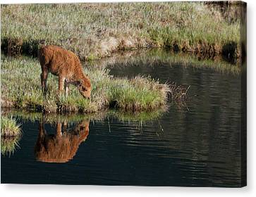 Bison Calf, Yellowstone National Park Canvas Print by Ken Archer