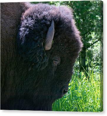 Bison Close Up Canvas Print