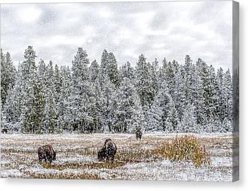 Bison Heard Canvas Print - Bison Feeding In The Snow by Paul W Sharpe Aka Wizard of Wonders