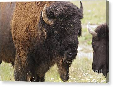 Canvas Print featuring the photograph Bison From Yellowstone by Belinda Greb