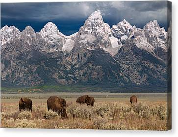 Earth Tones Canvas Print - Bison Grazing In Jackson Hole by Kathleen Bishop