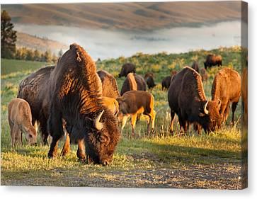 Bison Heard Canvas Print - Bison Grazing by Shaun Schlager