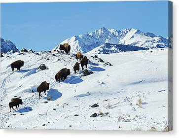 Bison Herd, Electric Peak Canvas Print by Ken Archer