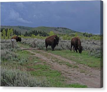Bison Herd In The Tetons Canvas Print by Dan Sproul