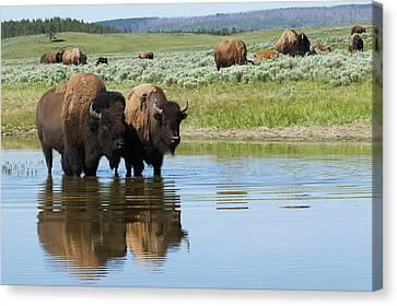 Bison Herd Canvas Print by Ken Archer