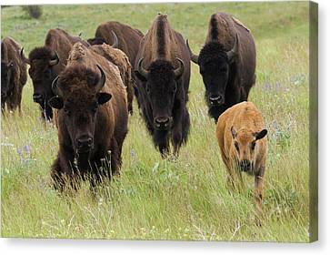 Bison Herd With Calf Canvas Print by Ken Archer