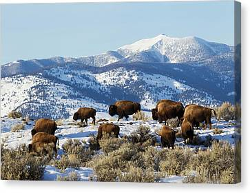 Bison Herd, Yellowstone National Park Canvas Print by Ken Archer