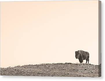 Bison Hill  Canvas Print by James BO  Insogna