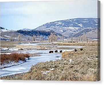 Bison In Lamar Valley Canvas Print