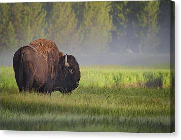 Yellowstone Canvas Print - Bison In Morning Light by Sandipan Biswas