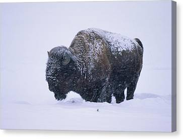 Bison In Snowstorm, Yellowstone Canvas Print by Richard and Susan Day