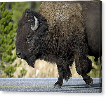 Bison In The Passing Lane Canvas Print by Gary Langley
