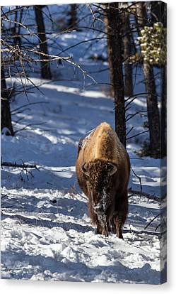 Bison In Winter Canvas Print