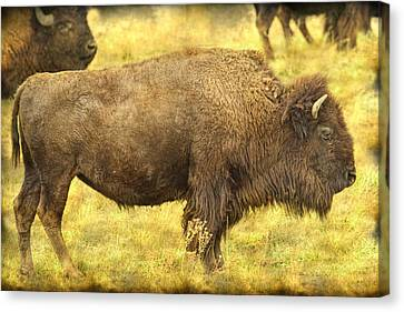 Bison Canvas Print by James BO  Insogna