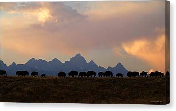 Bison March Canvas Print by Patrick J Osborne