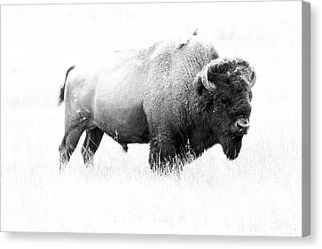 Bison - Monochrome Canvas Print by Christiane Schulze Art And Photography