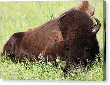 Canvas Print featuring the photograph Bison Nap by Alyce Taylor
