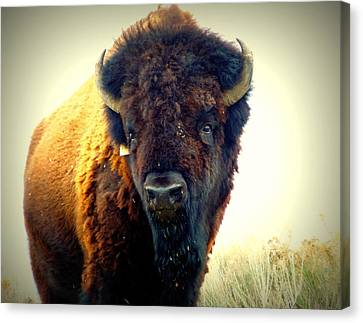 Bison On Antelope Island Canvas Print by Heidi Manly