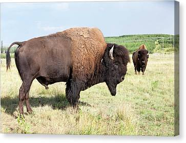 Bison On Reclaimed Tar Sands Mine Canvas Print by Ashley Cooper