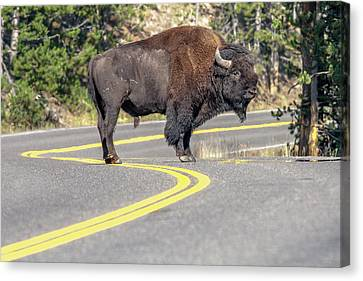 Bison On Road Yellowstone National Park Canvas Print by Tom Norring
