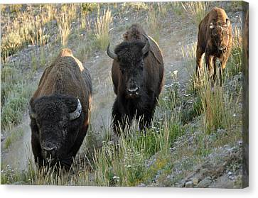 Bison On The Run Canvas Print by Bruce Gourley