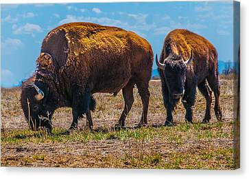 Canvas Print featuring the photograph Bison Pair_1 by Tom Potter