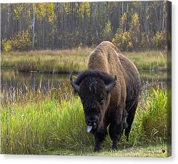 Canvas Print featuring the photograph Bison by Rhonda McDougall