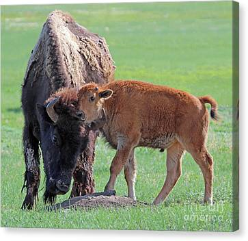 Canvas Print featuring the photograph Bison With Young Calf by Bill Gabbert