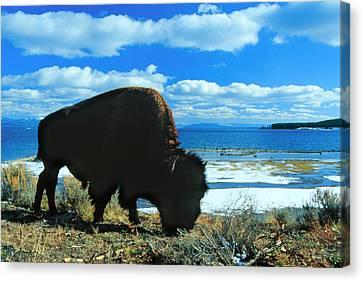 Bison Yellowstone Canvas Print