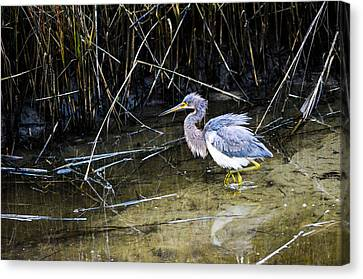 Bittern At Dusk  Canvas Print