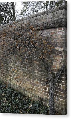 Bittersweet Along The Wall Canvas Print by Teresa Mucha