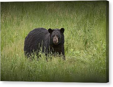 Black Adult Bear Outside Of Orr Minnesota Canvas Print