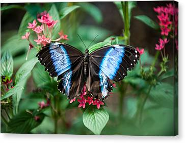 Black And Blue Wings Canvas Print
