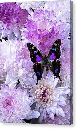 Black And Purple Butterfly On Mums Canvas Print