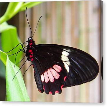 Black And Red Cattleheart Butterfly Canvas Print by Amy McDaniel