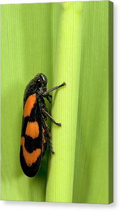 Black And Red Froghopper Canvas Print by Nigel Downer