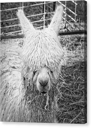 Black And White Alpaca Photograph Canvas Print by Keith Webber Jr