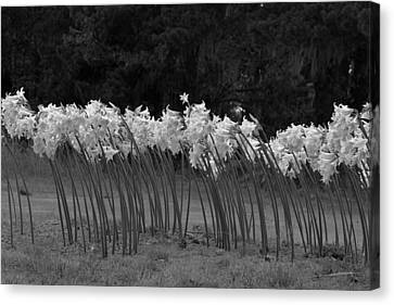 Black And White Amaryllis Canvas Print by Denice Breaux