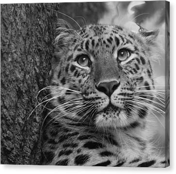 Black And White Amur Leopard Canvas Print