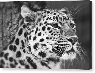 Black And White - Amur Leopard Portrait Canvas Print