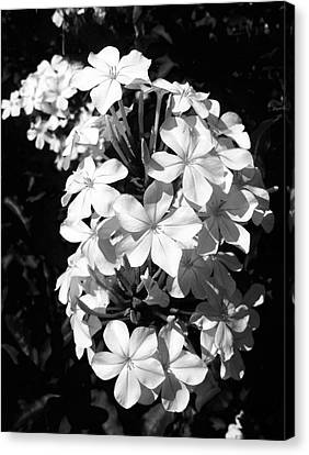 Canvas Print featuring the photograph Black And White Beauty by Alohi Fujimoto